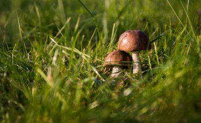 Mushroom, grass, close up, fungus