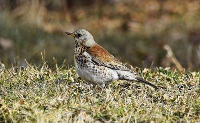 Fieldfare bird, meadow