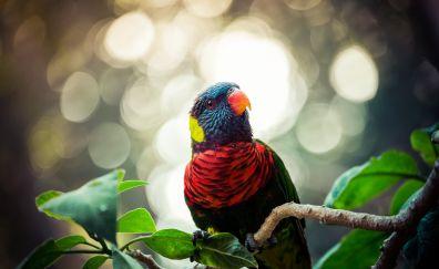 Colored parrot, Rainbow lorikeet, birds, bokeh