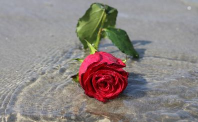 Rose flower, water, flower
