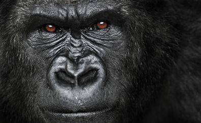 Gorilla, monkey muzzle
