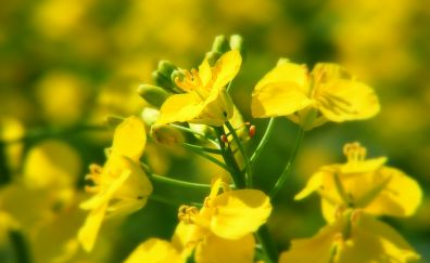 Rapeseed, yellow flowers, spring