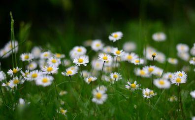 Spring, daisy flowers, park, wallpaper