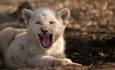Angry, baby white lion, cub, wild animal