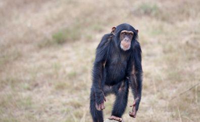 Chimpanzee, monkey, animal