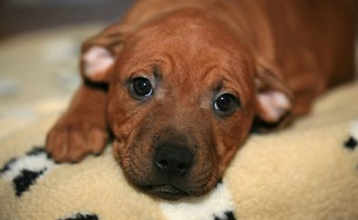 Staffordshire Bull Terrier dog, puppy, sleeping
