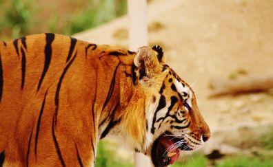 Zoo, animal, tiger, predator