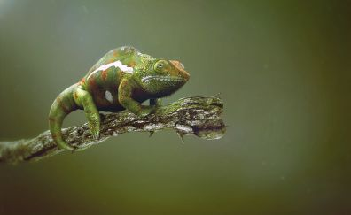 Chameleon, green reptiles, animal