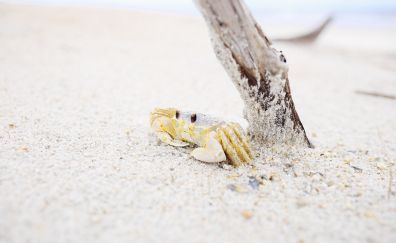 Crustacean animal, sand, beach