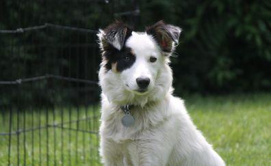Border collie dog, white dog, animals