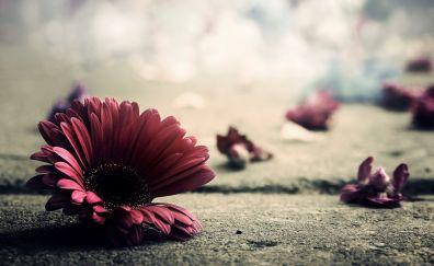Gerbera flower, petals