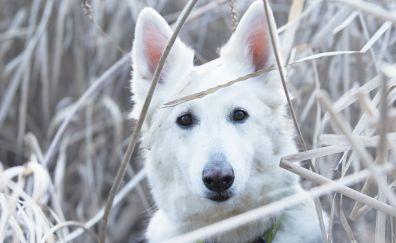 Berger Blanc Suisse, dog muzzle