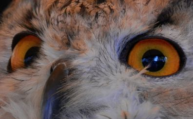 Owl bird of prey eyes