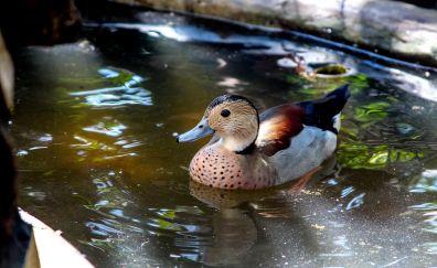 Mallard duck, bird, swim