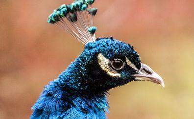 Peacock head, bird, colorful