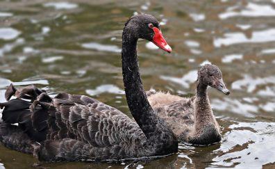 Black swan, swim, young bird, water