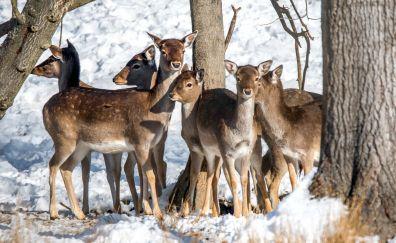 Fallow deer, animal, wild animal, herds