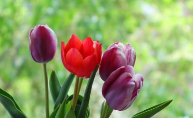 Tulip buds, flowers, portrait