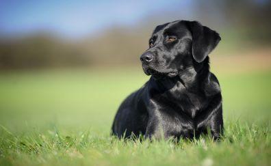 Black pet dog, Labrador Retriever, grass field