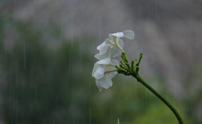 Frangipani flowers, white Plumeria, blossom, rain