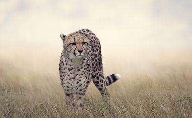 Cheetah, animal, predator, grass field