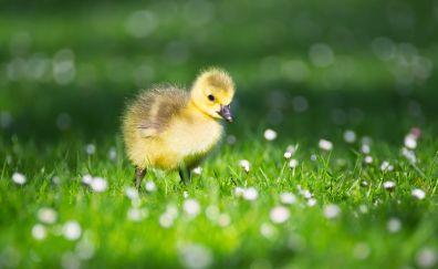 Goslings, chicks, walk, bokeh, bird