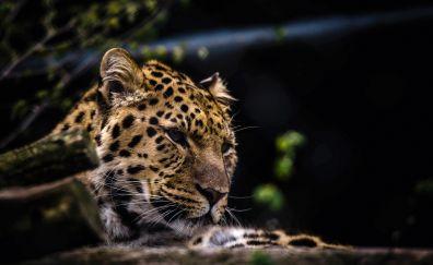 Leopard predator muzzle