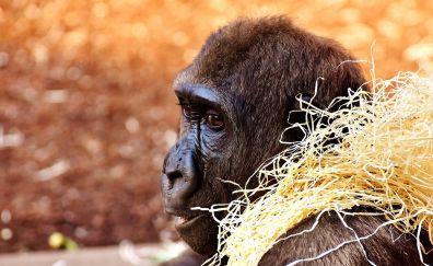 Gorilla, monkey, animal, play, muzzle