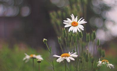 Beautiful flowers, white daisy, park