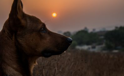 Dog head, ear, sunset