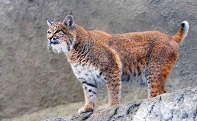 Lynx big cat