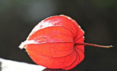 Physalis plant close up