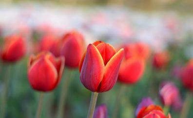 Red tulip, farm field, blur