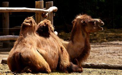 Domestic animal, zoo, fence, camel