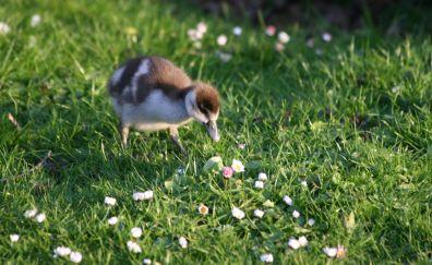 Chick, baby birds, walk, grass