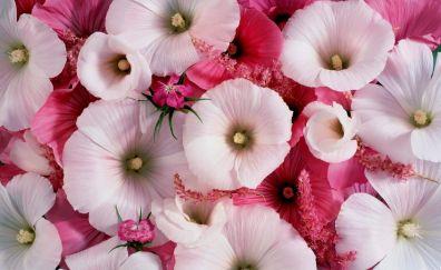 Beauitufl Pink Alcea Rosea flowers