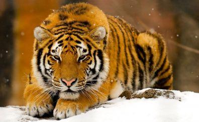 Calm tiger animals
