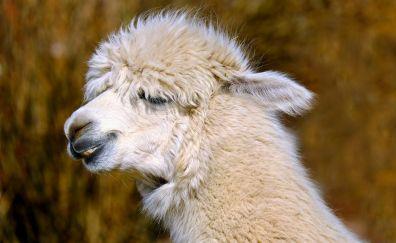 White Alpaca, animal, muzzle, teeth