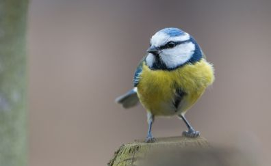Small bird, Beautiful Eurasian blue tit