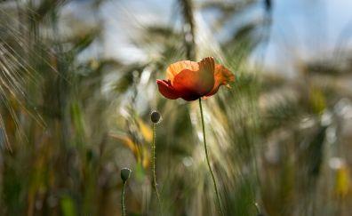 Summer field, poppy plants, flowers