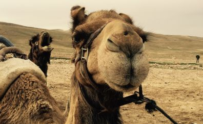 Desert, camel muzzle