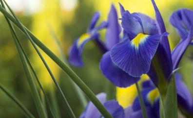 Iris purple flowers