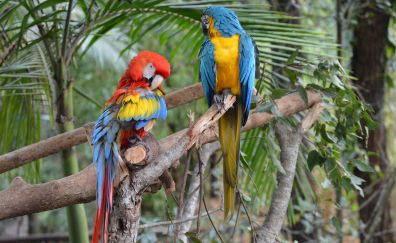 Macaw, colorful parrot birds