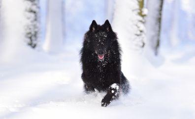Dog, Belgian Shepherd dog