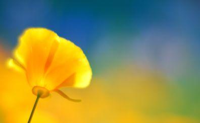 Yellow poppy flower, blurred