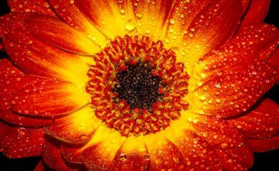 Flower petal drop orange