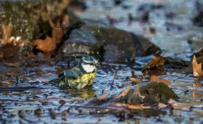 Eurasian blue tit, bird bath, rain