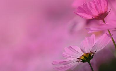 Beautiful flowers, spring, Cosmos pink flowers