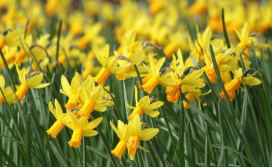 Daffodil, Narcissus yellow flowers