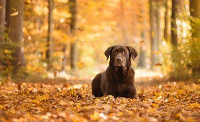 Labrador Retriever, pet dog, black